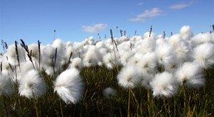 Clean Cotton!